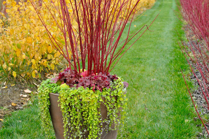 Redtwig farms thinking outside the boxwood for Red twig dogwood