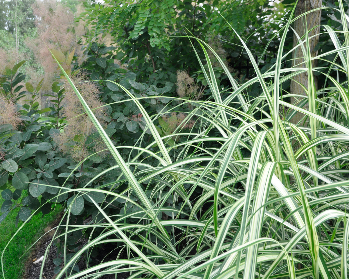 Miscanthus sinensis 'Cabaret' with Cotinus : Kurt Bluemel - Horticultural Royalty Remembered -Thinking Outside the Boxwood,