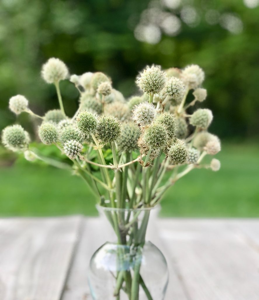Eryngium yuccifolium - Rattlesnake Master Using blooms past their prime in cut flower displays Thinkingoutsidetheboxwood.com