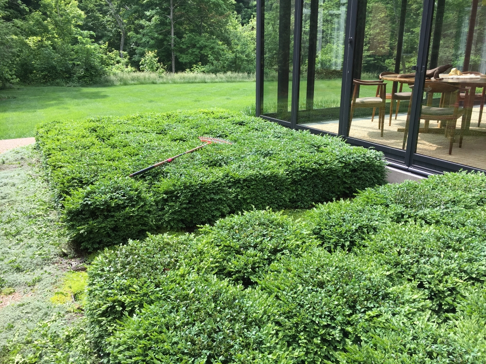 "Year two- Boxwood Growth over Time. Planted in 2014 to be a table top design outside the greenhouse. Variety: Buxus 'Green Velvet' planted on 2"" centers. From Thinking Outside the Boxwood"