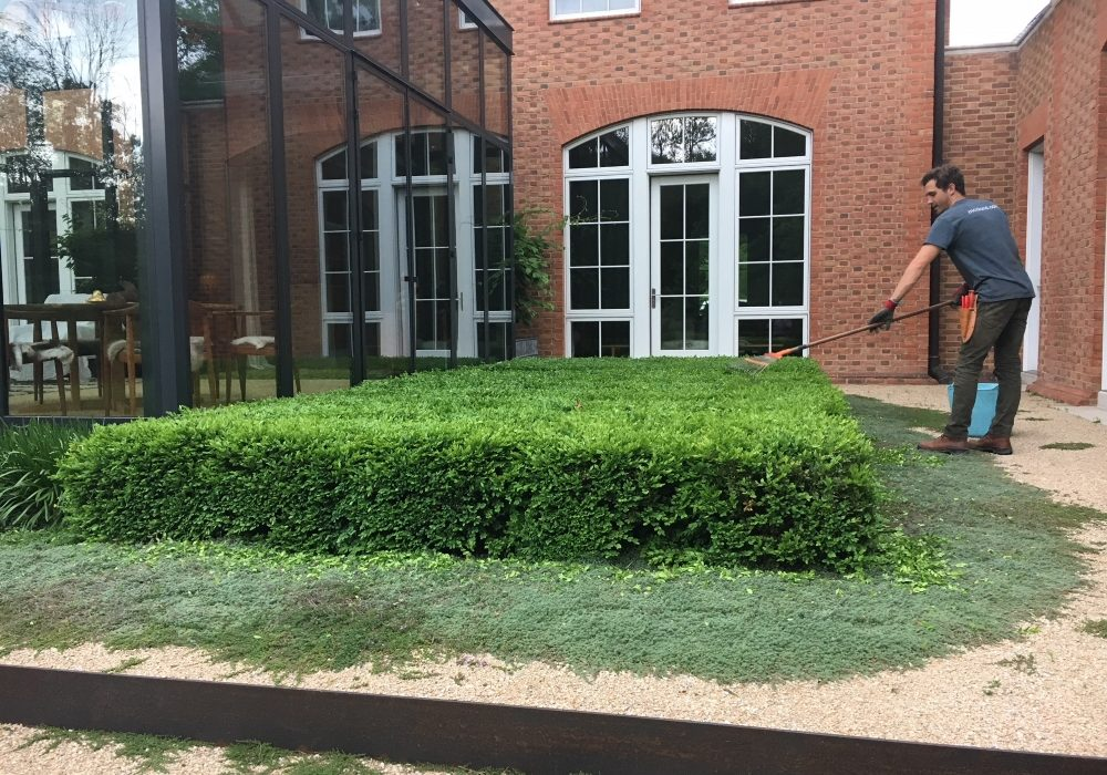 """Year four- Boxwood Growth over Time. Planted in 2014 to be a table top design outside the greenhouse. Variety: Buxus 'Green Velvet' planted on 2"""" centers. From Thinking Outside the Boxwood"""