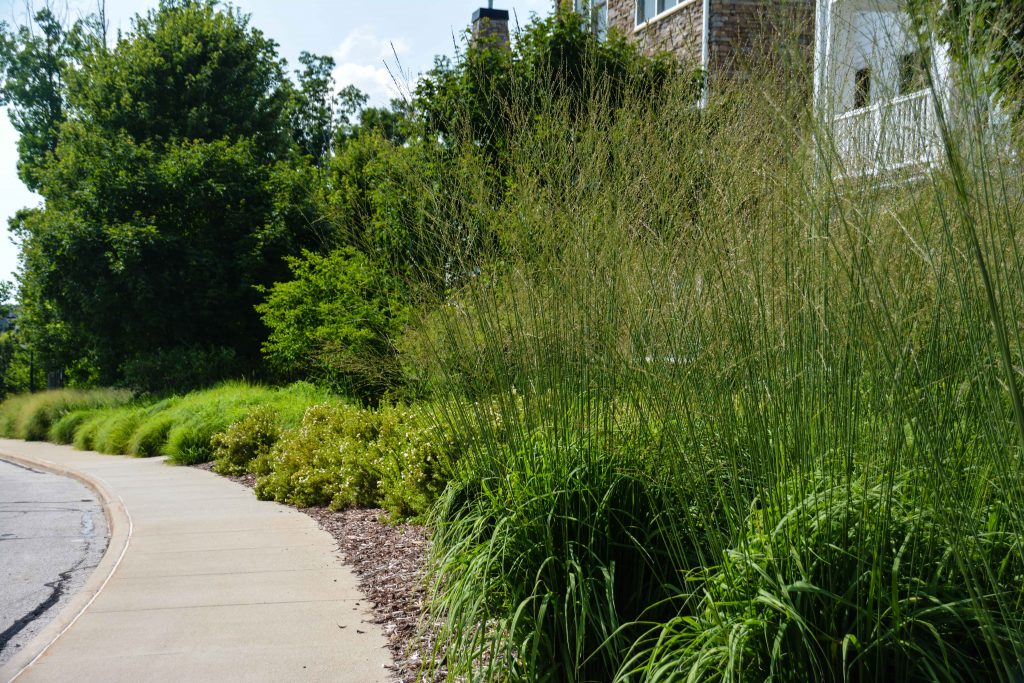 Molinia caerulea subsp. arundinacea 'Skyracer', South Franklin Circle Chagrin Falls Ohio. Mass perennial plantings in a retirement community. Thinking Outside the Boxwood