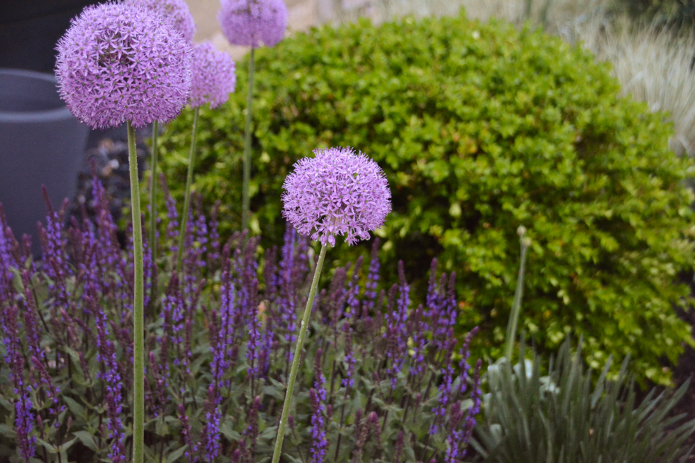 A garden design featuring alliums by Nick McCullough - Thinkingoutsidetheboxwood.com