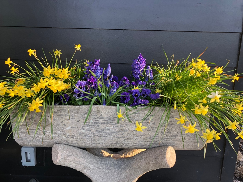 Faux Bois planter filled with spring daffodils, pansies and muscari. Thinking Outside the Boxwood