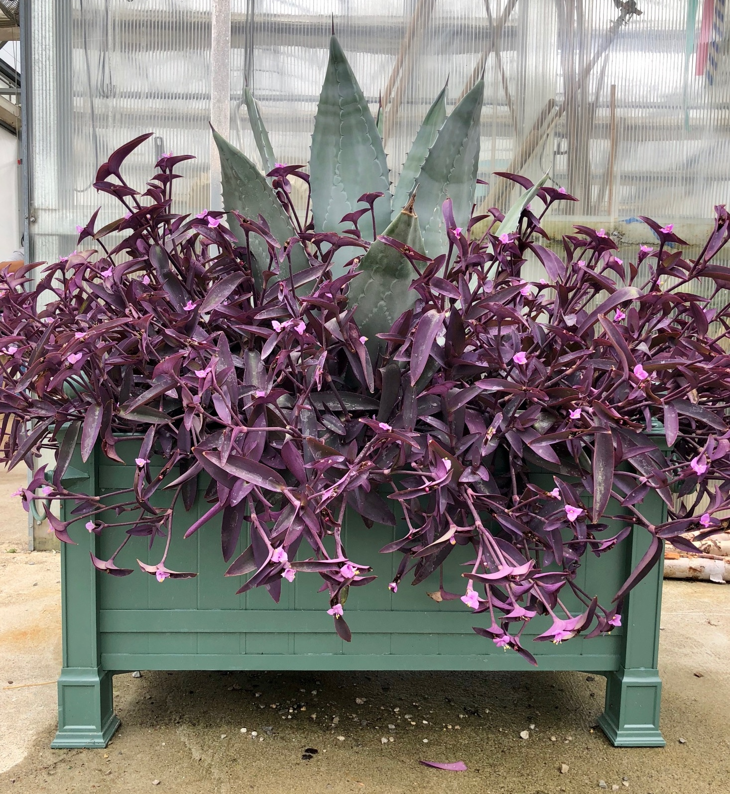 Agave americana and Tradescantia pallida 'Purple Queen' Planted in a Restoration Hardware Container Swapping Perennials for Annual Color - taking Inspiration from the Silver Garden at Longwood Gardens. Thinking Outside the Boxwood