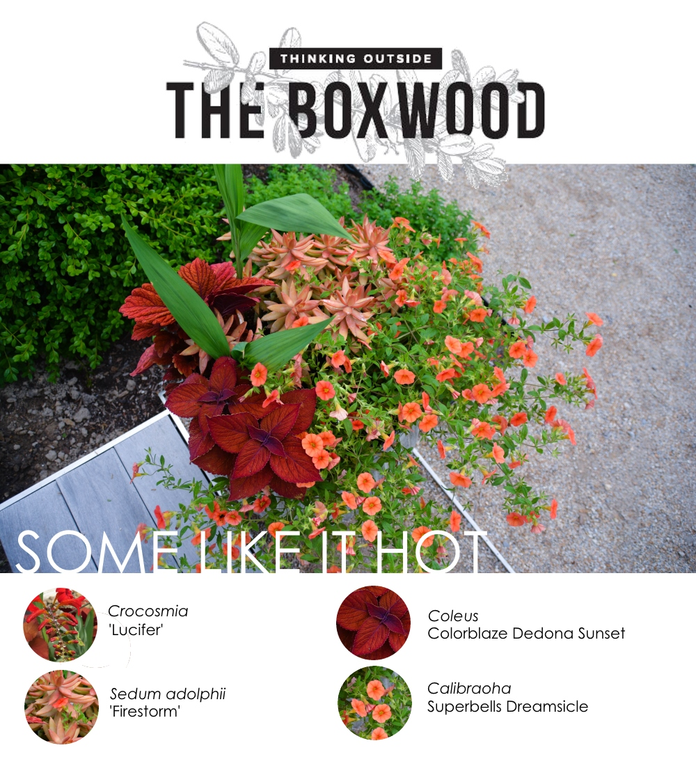 Some Like it Hot Container Breakdown using Crocosmia, Sedum, Coleus and Calibraoha (Superbells) More at Thinking Outside the Boxwood