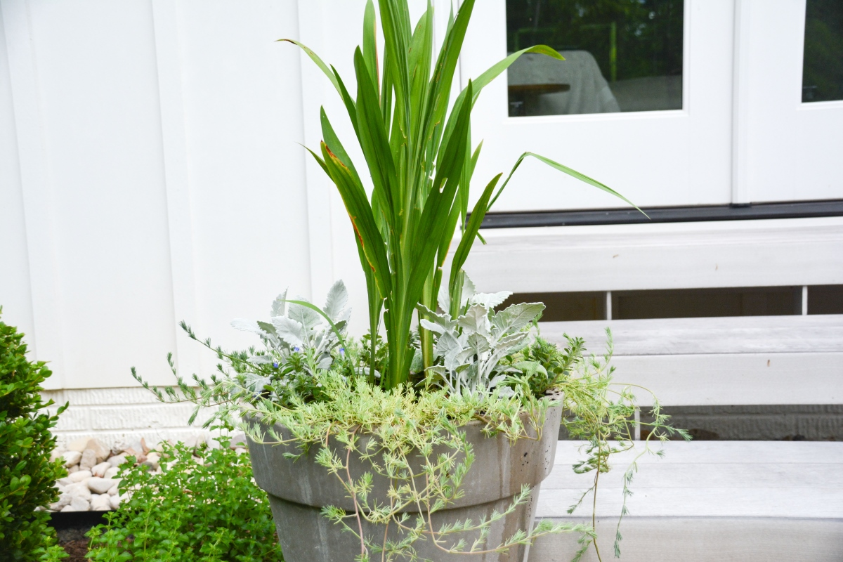 Crocosmia Bulbs in summer container designs - Thinking Outside the Boxwood
