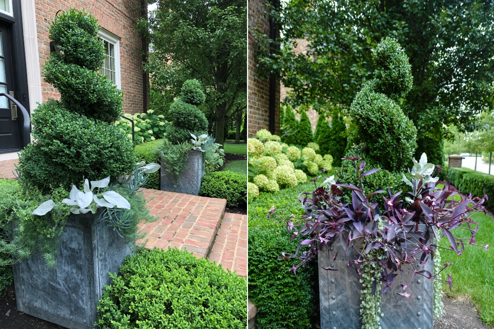 Comparison of the same containers from 2017 (right) and 2019 (left), with a photo taken later in the season. In the past we have often used Tradescantia 'Purple Queen' which always makes a strong statement with the lush green boxwoods around. McCullough's Landscape & Nursery. More details on Thinkingoutsidetheboxwood.com