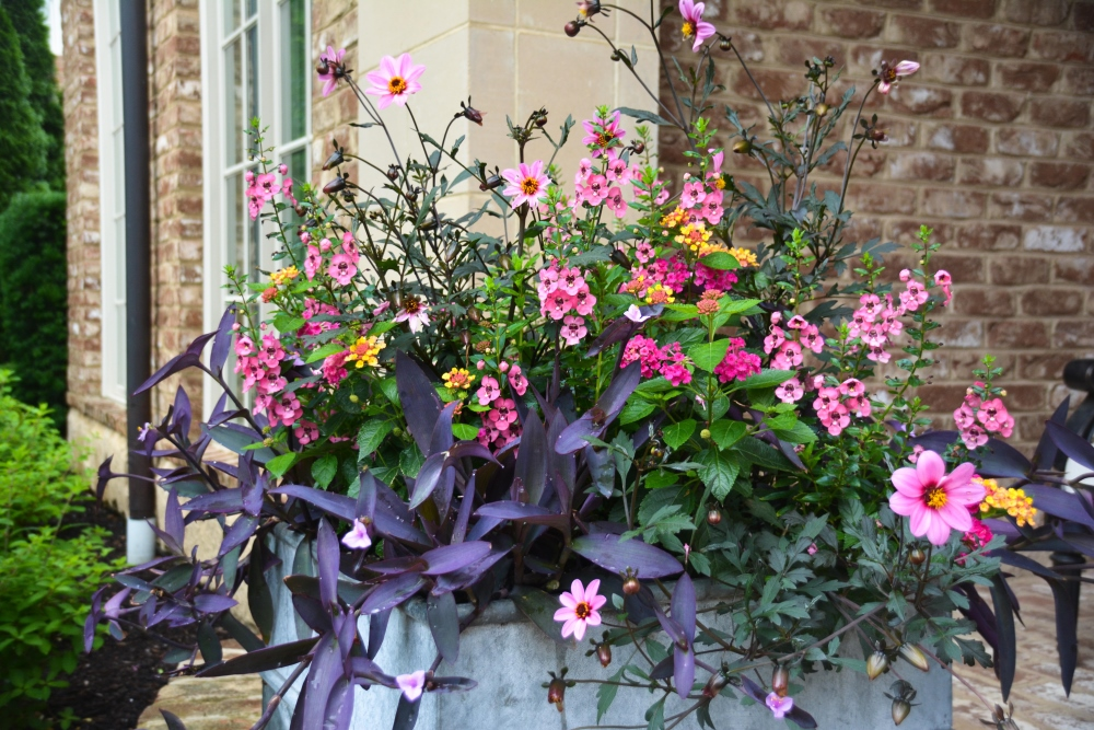PINK PUNCH container design from Thinking Outside the Boxwood. The plantings include, Dahlia 'Mystic Dreamer', Tradescantia 'Purple Queen', Lantana camara Luscious® Royale Cosmo, and Angelonia 'Perfectly Pink'.