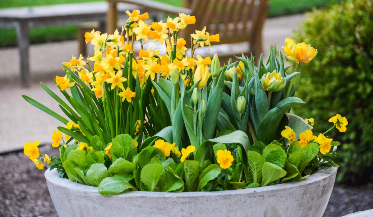 How to add daffodils to a small space garden or patio in containers. From ThinkingOutsidetheBoxwood.com